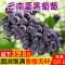 云南夏黑葡萄5斤带箱 新鲜无籽葡萄黑提子黑加仑当季水果孕妇包邮